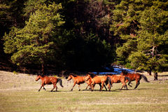 Peu de chevaux Images stock