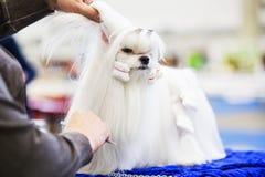 Peu de chien de shih-tzu de beauté au groomer& x27 ; main de s images libres de droits