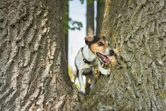 Peu de chien de Jack Russell Terrier grimpe ? un arbre ?norme image stock
