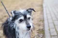 Peu de chien pour des walkies Photos stock