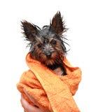 Peu de chien terrier de Yorkshire humide Photographie stock