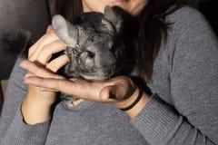 Peu de chinchilla gris sur des mains Photo stock