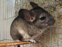 Peu de chinchilla mignon drôle de fourrure petit se repose et manque photographie stock libre de droits