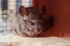Peu de chinchilla mignon drôle de fourrure petit se repose et manque photographie stock