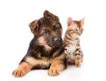 Peu de chiot de chat du Bengale et de berger allemand se trouvant ensemble D'isolement Photo stock
