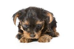 Peu de chiot de chien terrier de Yorkshire Images stock