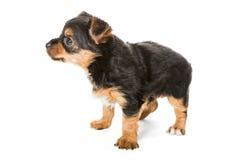 Peu de chiot de chien terrier de Yorkshire Image stock