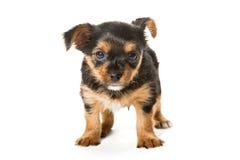 Peu de chiot de chien terrier de Yorkshire Images libres de droits