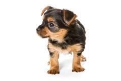 Peu de chiot de chien terrier de Yorkshire Photographie stock