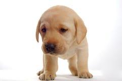 Peu de chiot de Labrador Images stock