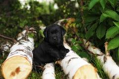 Peu de chiot mignon de Labrador Images stock