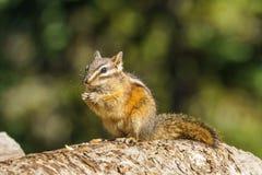 Peu de chipmank sur la roche dans la forêt Photo libre de droits