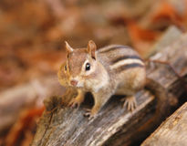 Peu de chipmunk Photo stock