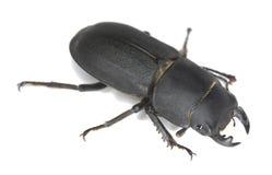 Peu de coléoptère de mâle, parallelipipedus de Dorcus Images stock