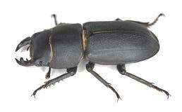 Peu de coléoptère de mâle, parallelipipedus de Dorcus Photo libre de droits