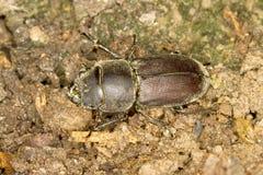Peu de coléoptère de mâle/parallelopipedus de Dorcus Photos libres de droits