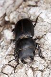 Peu de coléoptère de mâle sur le vieux chêne. Macro photo. Photos stock
