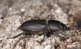 Peu de coléoptère de mâle sur le vieux chêne. Macro photo. Photo libre de droits