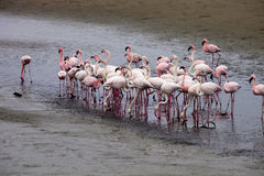 Peu de colonie et Rosa Flamingo de flamant dans Walvisbaai, Namibie Photo stock
