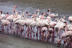 Peu de colonie et Rosa Flamingo de flamant dans Walvisbaai, Namibie Image stock