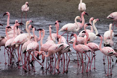Peu de colonie et Rosa Flamingo de flamant dans Walvisbaai, Namibie Image libre de droits
