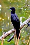 Peu de Cormorant au Sri Lanka, petite taille avec la facture courte et plutôt de forme conique photographie stock