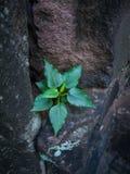 Peu de croissance d'arbre de Bodhi sur la pierre de sable images libres de droits