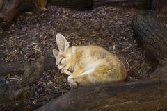 Peu de fenech dormant dans le zoo Photographie stock