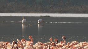 Peu de flamants et pélicans au bogoria de lac, Kenya banque de vidéos
