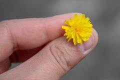 Peu de fleur jaune entre trois doigts photos libres de droits