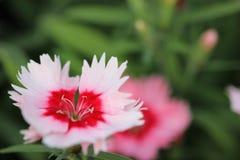 Peu de fleur rose avec le macro central rouge Images libres de droits