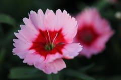 Peu de fleur rose avec le macro central rouge Photos libres de droits