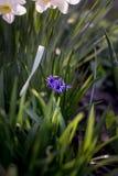 Peu de fleurs de jacinthe Photographie stock libre de droits