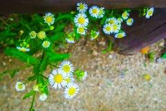Peu de flowerd blanc avec le pollen jaune dans le jardin Photographie stock libre de droits