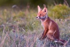 Peu de Fox rouge se repose sur l'herbe et regarde le coucher du soleil photographie stock libre de droits
