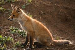 Peu de Fox se repose près de son trou photos stock