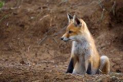 Peu de Fox se repose près de son trou photographie stock libre de droits