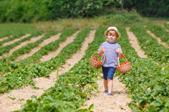 Peu de fraises de cueillette de garçon d'enfant à la ferme, dehors Images stock