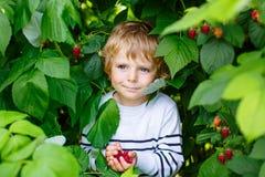 Peu de garçon d'enfant sélectionnant les baies fraîches à la ferme organique de gisement de framboise Image libre de droits