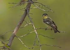 Peu de Goldfinch image libre de droits