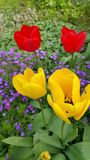 Peu de groupe de tulipes jaunes et rouges Photographie stock
