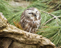 Peu de hibou de cri strident photo stock