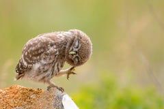 Peu de hibou, noctua d'Athene, se reposant sur une pierre et lissant ses plumes Jeune oiseau image libre de droits