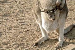 Peu de kangourou de joey dans une poche Images libres de droits