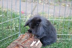 Peu de lapin noir Image libre de droits