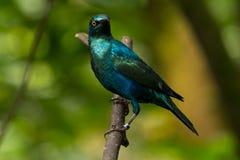 Peu de Lustré-starling Bleu-à oreilles Photographie stock libre de droits
