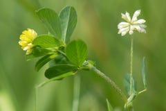 Peu de minette et x28 ; Dubium& x29 de trifolium ; usine en fleur Image libre de droits