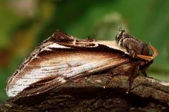 Peu de mite importante d'hirondelle (gnoma de Pheosia) dans le profil photographie stock