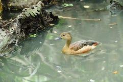Peu de natation siffleuse de canard (javanica de Dendrocygna) en nature Image libre de droits