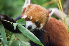 Peu de panda Photographie stock